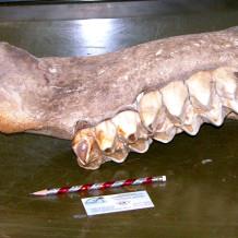 Mastodon Jaw