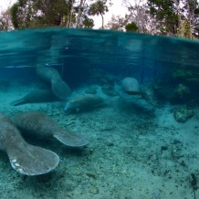 manatees at  Manatee Springs