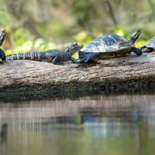 Gator and Turtles, Silver River, 2013 Photo by John Moran