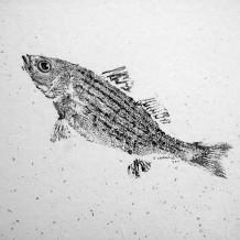 Guo striped bass